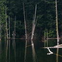 The calmness of Durrance Lake with fallen trees amongst the water.