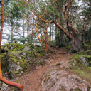 The trail climbs steeply to Mount Work and passes many Arbutus Trees along the way.